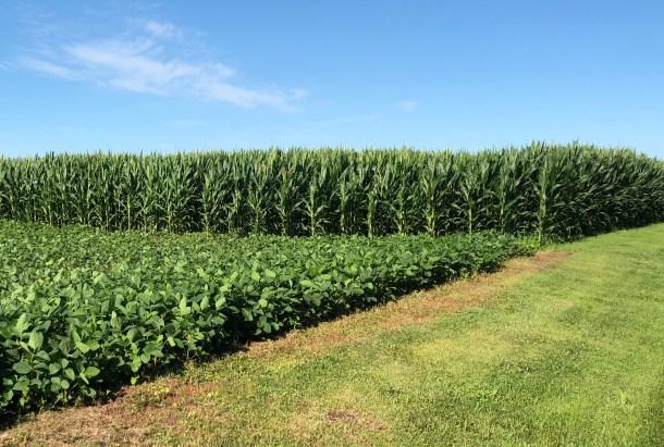 Corn bean field - neighbors field