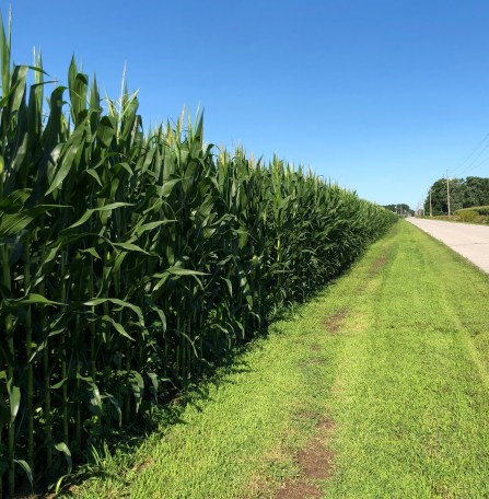 corn field along road