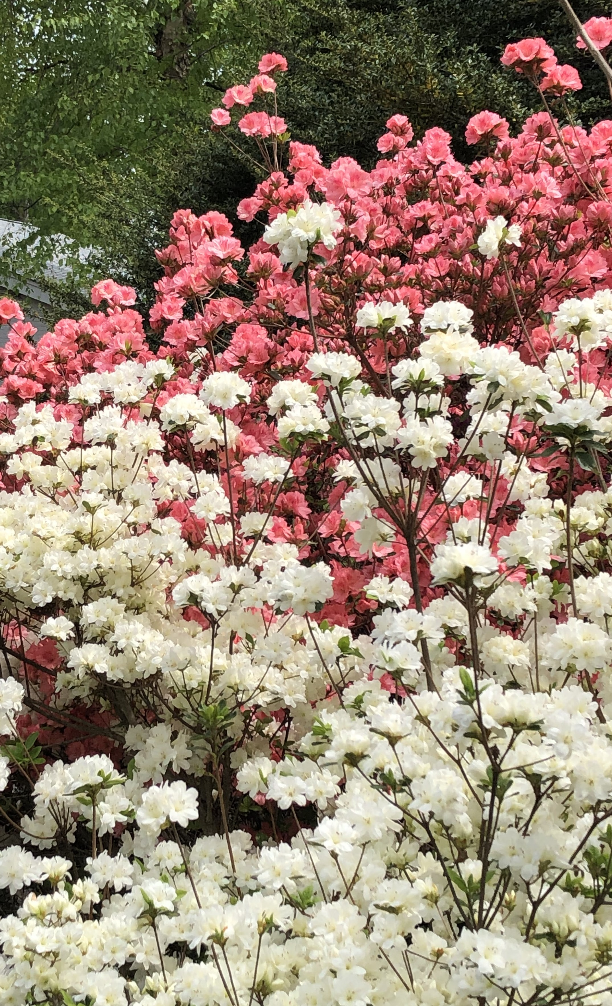 USE THIS PINK AND WHITE FLOWERS
