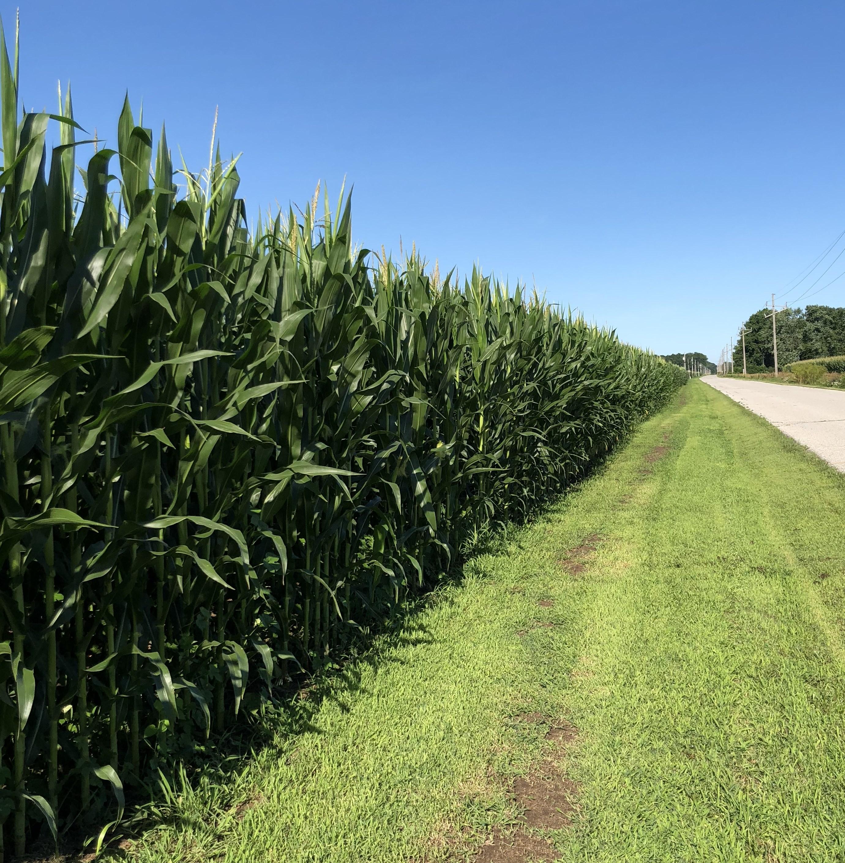 corn field along road