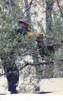 bees condie in tree
